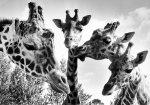 Giraffes at Twycross zoo by Mirrorpix