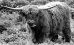 A Highland cattle by Mirrorpix