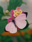 A Cabbage Pink butterfly by Mirrorpix