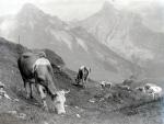 Cattle of the Schynige Platte in Switzerland by Mirrorpix