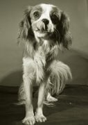 Pet Detective Douggie the Spaniel dog by Mirrorpix