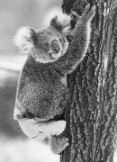 Lally the koala by Mirrorpix