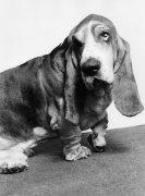 Basset hound, Hamlet by Mirrorpix