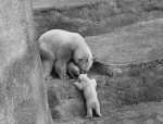 Polar Bears, 1964 by Mirrorpix