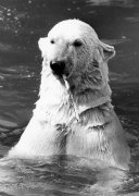 Polar Bears, Nanook by Mirrorpix