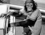 Chimpanzee on the piano by Mirrorpix