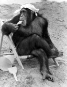 chimp from Twycross Zoo, 1977 by Mirrorpix