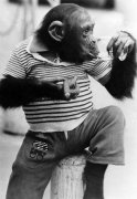 Monkey wearing tee shirt by Mirrorpix