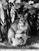 Dama Wallaby by Mirrorpix