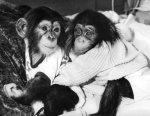 Chimpanzee Jamie by Mirrorpix