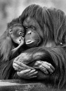Martha and baby Sureiki (Orang - Utans) by Mirrorpix