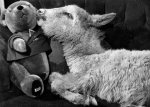 Sheep, 1966 by Mirrorpix