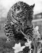 Jasmin the Jaguar cub by Mirrorpix