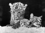 A Jaguar cub with a cat by Mirrorpix