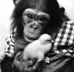 Chimp holding a fluffy baby chick by Mirrorpix