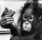 Suka, the 13 month old orang utan by Mirrorpix