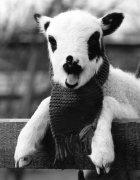 Jacob's lamb by Mirrorpix