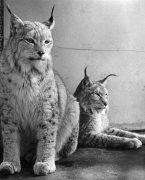Pair of Northern Lynx by Mirrorpix