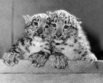 Twin snow leopards