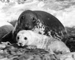 Mother seal with her pup by Mirrorpix