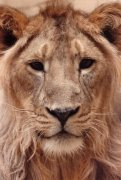 Lion Close up by Mirrorpix