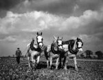 Farming: Ploughing near Acle, Norfolk, 1944 by Mirrorpix