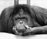 Tuan, the orang-utan (Chessington Zoo) by Mirrorpix