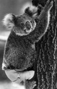 Lally the Koala by Mirrorpix