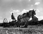 Haymaking at Birling, 1944 by Mirrorpix