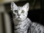 Egyptian Mau cat by Mirrorpix