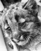 A puma cub by Mirrorpix
