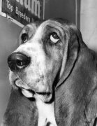Basset Hound by Mirrorpix