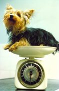 Yorkshire Terrier being weighed