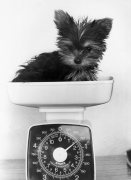 Pint size penny the Yorkshire Terrier by Mirrorpix