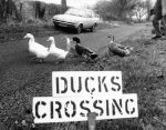 These ducks have their own road sign by Mirrorpix