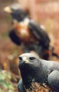 South African Jackal Buzzard by Mirrorpix