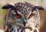 An eagle owl by Mirrorpix