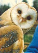A Barn Owl by Mirrorpix