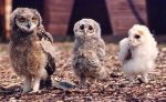 Three young owls by Mirrorpix