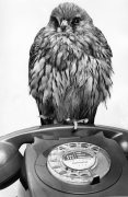 Kestrel would like to call home by Mirrorpix