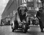 Joan, Baby elephant rides her tricycle down Oxford St by Mirrorpix
