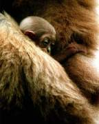 Baby Gorilla in arms of mother by Mirrorpix