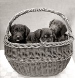 Puppies inside a basket by Mirrorpix
