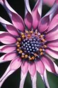 Osteospermum 'Whirligig' by John Bellars