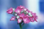 Hydrangea, Hydrangea by Lisa Barber