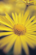 Doronicum, Leopard's bane by Mike Bentley