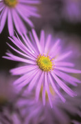 Aster, Daisy by Mike Bentley