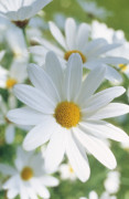 Leucanthemum vulgare Daisy - Ox-eye daisy