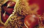 Castanea sativa, Chestnut - Sweet chesnut by Mike Bentley