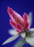 Celosia caracas, Celosia by Martin O'Neill